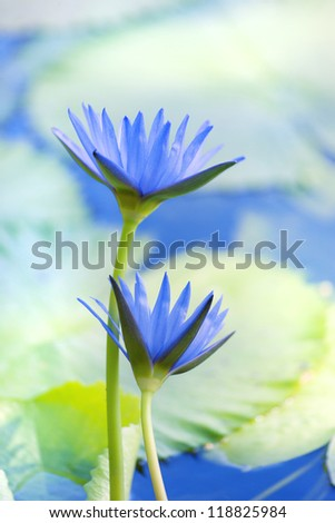 Beautiful lotus flower background. Close up shot of waterlily flowers - stock photo
