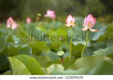 Beautiful lotus flower bloom lotus flowers stock photo image beautiful lotus flower bloom a lot of lotus flowers in natural habitat srinagar mightylinksfo