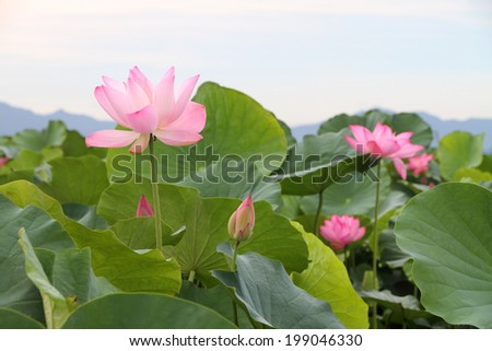 Beautiful lotus flower blooming in early summer  - stock photo