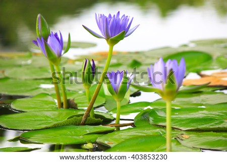 beautiful lotus many purple lotus flowers stock photo, Beautiful flower
