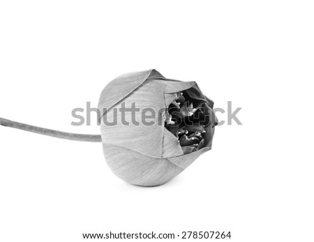 Beautiful   Lotus flower in  black  and white - stock photo