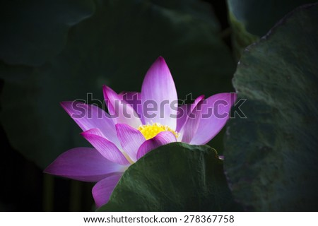 beautiful lotus flower in blooming - stock photo