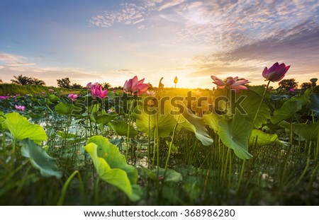 Beautiful lotus flower in blooming at sunrise. Selective focus, shallow depth of field. - stock photo