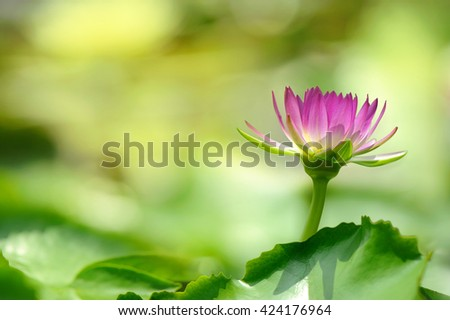 beautiful lotus flower in blooming at the morning - stock photo
