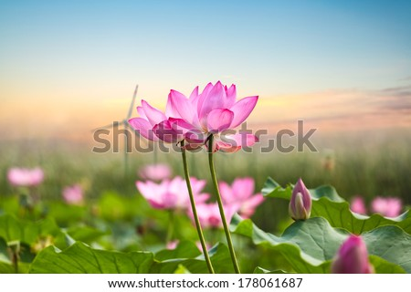 beautiful lotus flower in blooming with wind farm at sunset