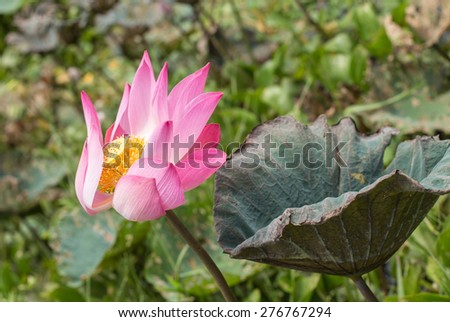 Beautiful lotus flower in Lake - stock photo