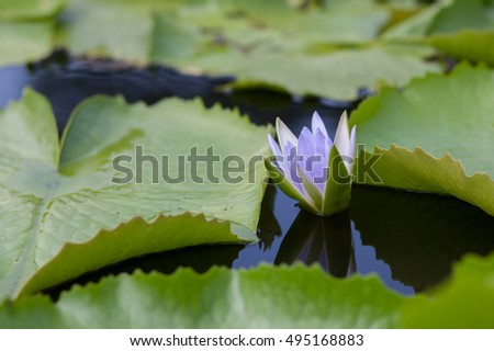 beautiful lotus flower in  nature