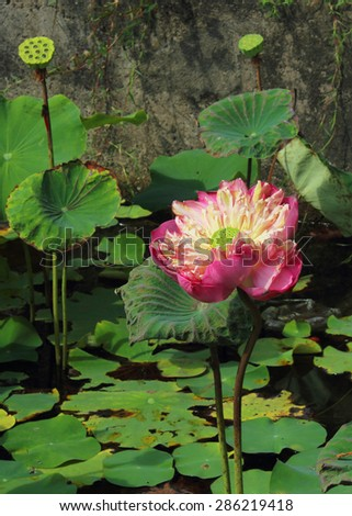 beautiful lotus flower in the pond - stock photo
