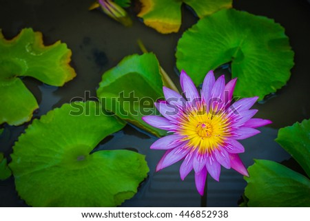 beautiful lotus flower is complimented by the rich colors of the deep blue water surface. - stock photo
