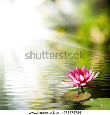 beautiful lotus flower on the water against the sun rays background - stock photo