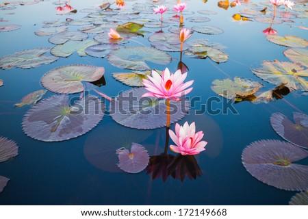 beautiful lotus flower outdoor - stock photo