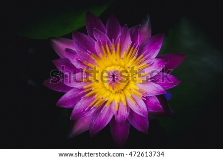 beautiful lotus flower with leaves on water with shadow edge