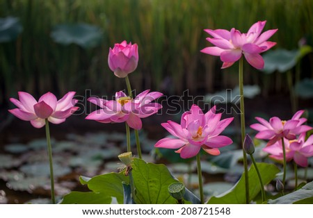beautiful lotus flowers ( Hoa sen) blooming in pond - stock photo
