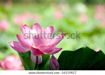 Beautiful Lotus for background use