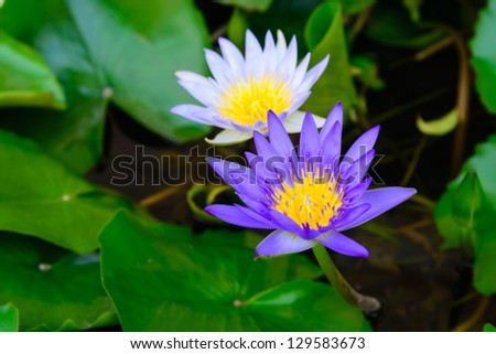 Beautiful lotus from thailand