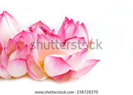 Beautiful lotus isolated on white background - stock photo