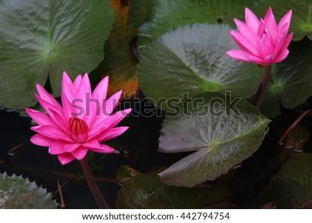 Beautiful Lotus, Pink Water Lily - stock photo