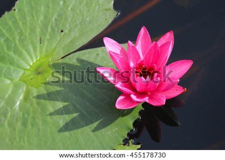 Beautiful Lotus, Pink Water Lily. - stock photo