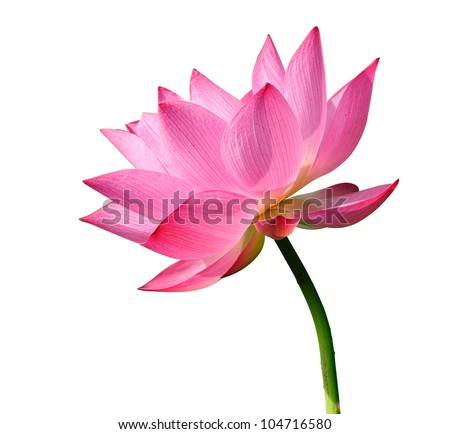 lotus stock images, royaltyfree images  vectors  shutterstock, Beautiful flower