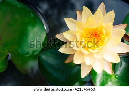 Beautiful lotus water lily in pond of green park garden summer day.