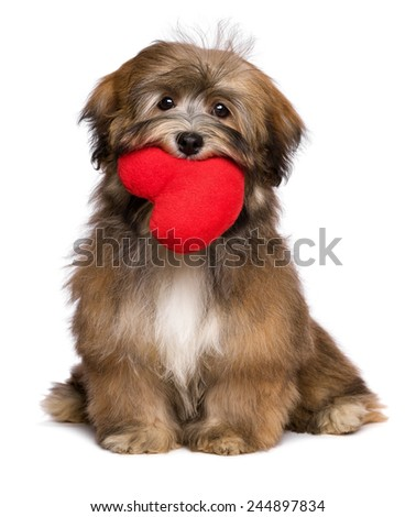 Beautiful lover valentine havanese puppy dog is holding a red heart in her mouth, isolated on white background