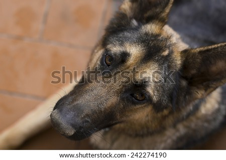 Beautiful loyal german shepherd dog looking up at the camera with trusting eyes, overhead closeup portrait - stock photo