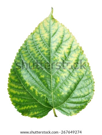Beautiful lush green leaf Isolated on white background, Mulberry leaf - stock photo