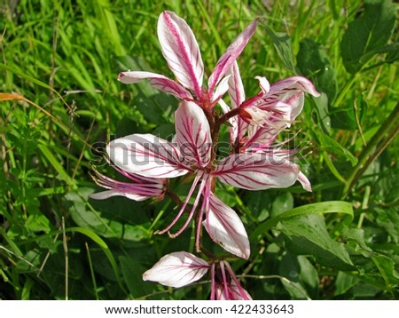 Beautiful luxury pink flower poisonous plant stock photo royalty beautiful luxury pink flower poisonous plant dictamnus from the green grass mightylinksfo