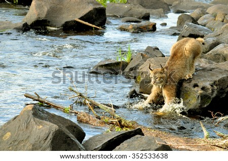 Beautiful Lynx crossing over water. - stock photo