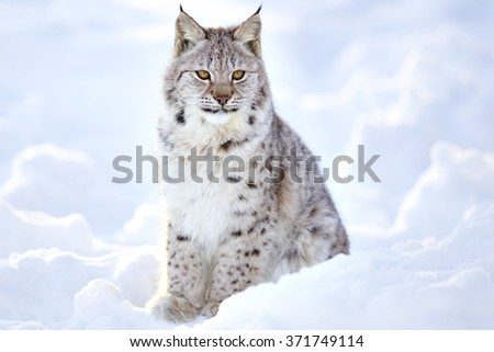 Beautiful lynx cub sits in the cold snow - stock photo