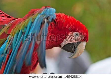 Beautiful Macaw parrot closeup - stock photo