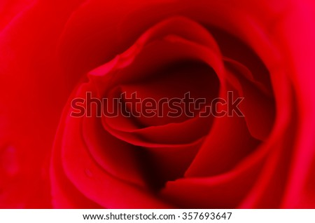 Beautiful Macro center Red Rose Flower Background.