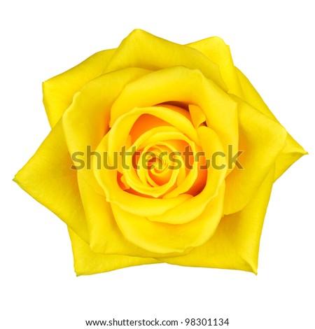 Beautiful Macro of Yellow Rose Flower Isolated on White Background - stock photo