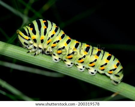 Beautiful macro. Papilio polyxenes ,Black Swallowtail butterfly caterpillar. - stock photo