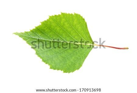 Beautiful macro photo of birch leaf, isolated on white background - stock photo