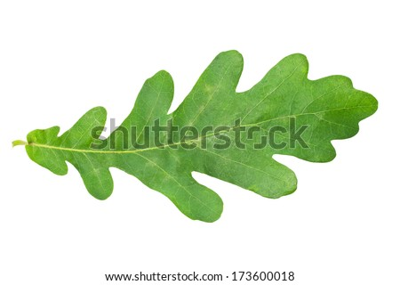Beautiful macro photo of oak leaf, isolated on white background - stock photo