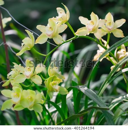 Beautiful macro yellow orchid in botanic garden. - stock photo
