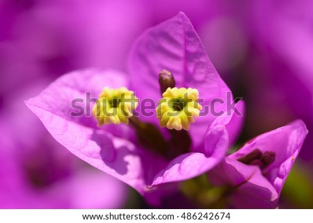 Beautiful magenta bougainvillea flowers closeup. Vivid colors and blue, green soft blurry background