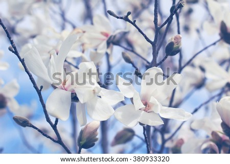Beautiful magnolia flowers with blue sky background - stock photo