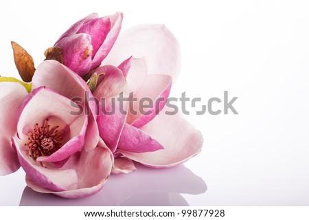 beautiful magnolia isolated on white background - stock photo
