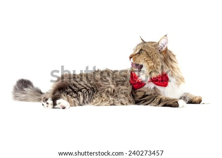 Beautiful Maine Coon cat in a bow tie at the neck lies on a white background with open mouth