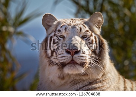 Beautiful Majestic White Tiger in it's environment - stock photo