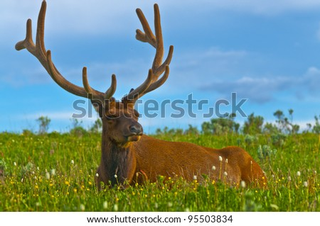 Beautiful Majestic Wild Male Elk in Yellowstone National Park - stock photo