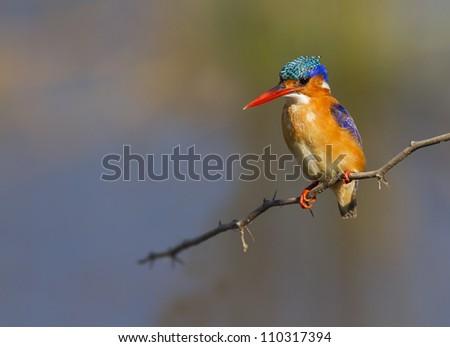 Beautiful Malachite kingfisher against a colorful background - stock photo