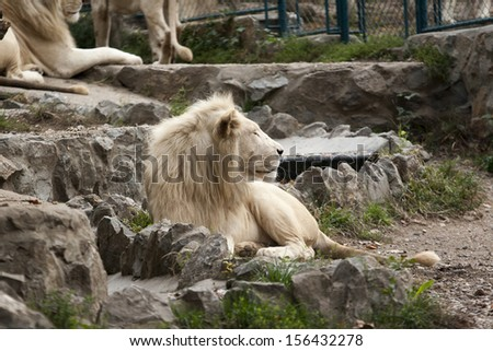 beautiful male african white lion