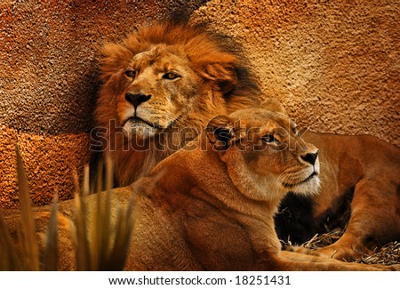 Beautiful Male and Female Lions Resting in the Evening - stock photo