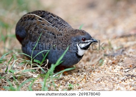 Beautiful male blue quail with black throat patch and red eye - stock photo