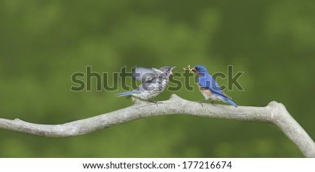 Beautiful Male Bluebird with Room for Copy - stock photo