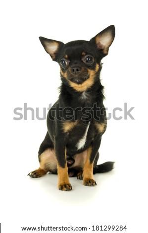 Beautiful male chihuahua dog sitting isolated - stock photo