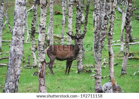 Beautiful male deer in birch forest, Norway - stock photo